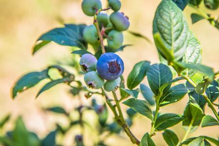 Blueberry (Vaccinium) fruit on a shrub