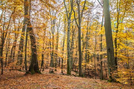 Beech forest in autumn Zdjęcie Seryjne