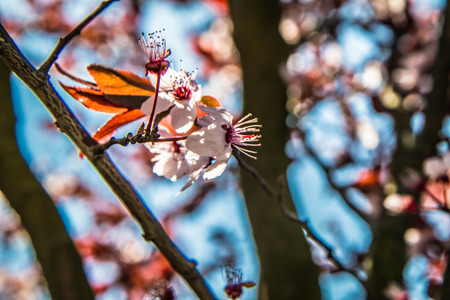 Pink flowers on a cherry tree Imagens