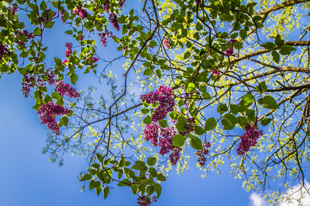 Lilac tree flowers in early blooming blue sky