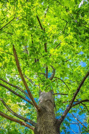 Maple (Acer) tree with green leaves seen against blue sky