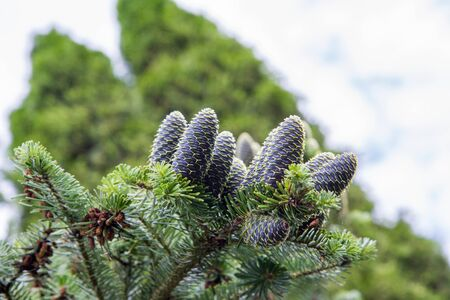 Bunch of fir tree with cones on a branch in close up