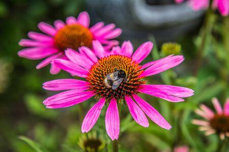 Bumblebee on Echinacea flower in a garden