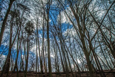 Trees in a forest seen upwards against a blue sky with some white clouds