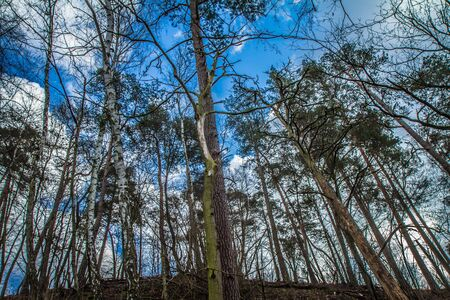 Trees in a forest seen upwards against a blue sky with some white clouds Banque d'images