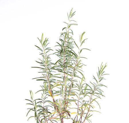 Rosemary (Salvia rosmarinus) plant on a white background