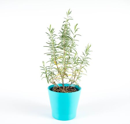 Rosemary (Salvia rosmarinus) plant in a pot on a white background