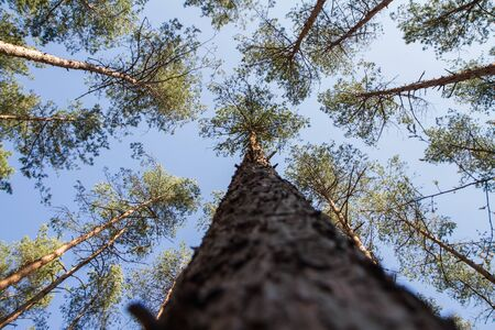 Pine trees in a forest seen upwards against a blue sky with some white clouds, focus on the bark of one pine tree