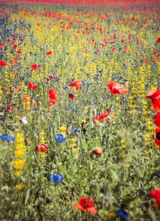 A Meadow with poppy flowers, centaurea flowers and lupine flowers blooming