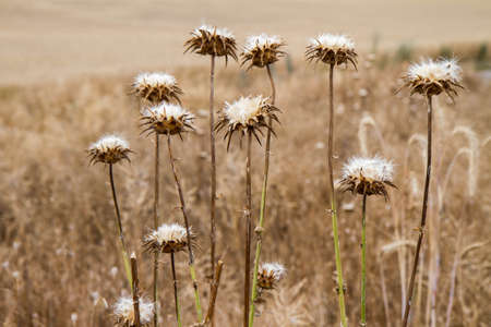 Thistle plant in a field after blooming