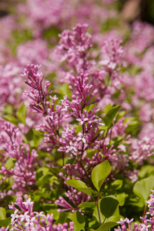Common lilac (Syringa vulgaris) blooming in spring Banque d'images