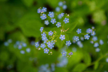 Great forget-me-not (Brunnera macrophylla) plant blooming with blue flowers