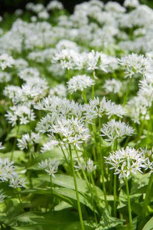 Wild garlic (Allium ursinum) plant blooming in a garden