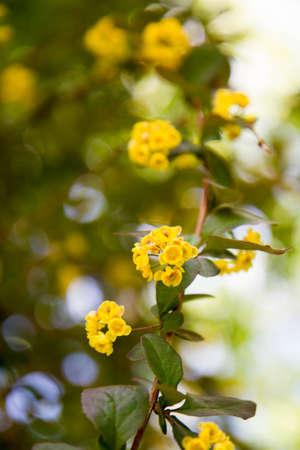 Barberry (Berberis chopinii Mazurek) shrub blooming in a garden