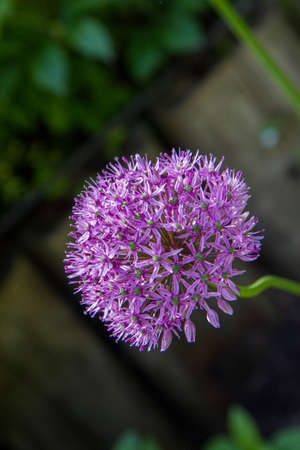 Giant Onion (Allium Giganteum) blooming in a garden Banque d'images