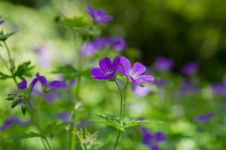 Woodland geranium (Geranium sylvaticum) plant blooming Banque d'images
