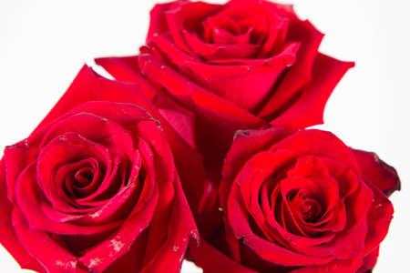Red roses, seen from above, covered with drops of water, on a white background