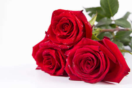 Red roses, covered with drops of water, on a white background Banque d'images