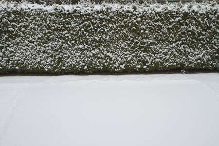Snow covered lawn and hedge in a backyard. Winter background.