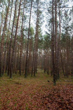 Forest landscape: Pine forest in winter