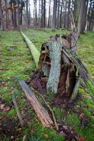 Forest landscape: a fallen tree in a pine forest in winter