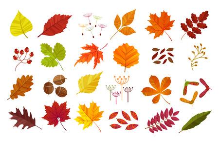 chokeberry: Autumn leaves set, isolated on white background. Cartoon flat style,  illustration.