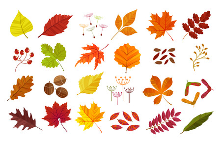 Autumn leaves set, isolated on white background. Cartoon flat style,  illustration.