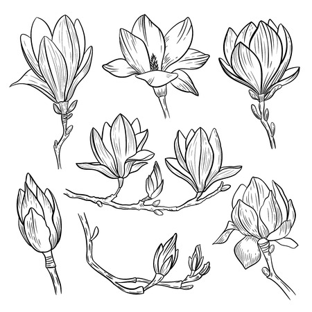 Magnolia flowers. Hand drawn spring blossoming plant elements isolated on white background. Vector illustration. Vectores