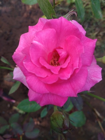 pinky: This is the very Beautyfull Indian pink rose. very nice garden. Stock Photo