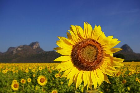 Sunflower field, Thailand photo