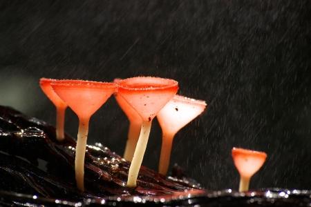 pang: Fungi cup at Pang Sida National Park, Thailand