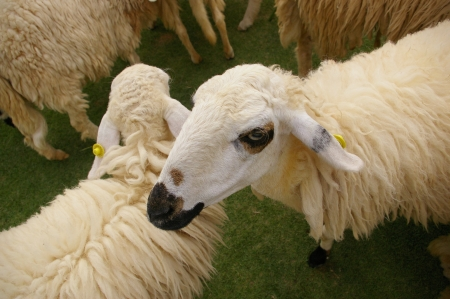 looked: Sheep looked with fierce eyes  Stock Photo