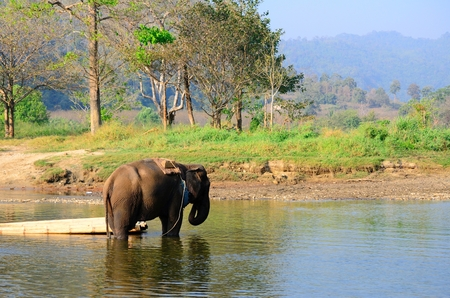 Thai elephant for carrying tourist photo