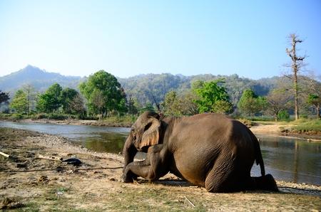 Thaise olifant op de knieën voor het vervoer van toeristen