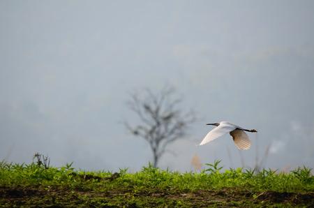 Vliegende Grote Witte Zilverreiger Stockfoto