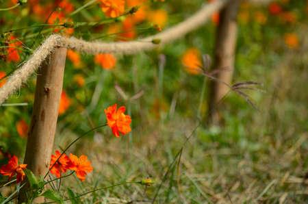fench: Orange cosmos flowers Stock Photo