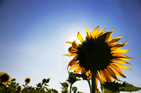 Zon bloem velden, Thailand Stockfoto