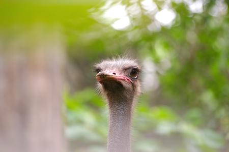 Hoofd geschoten van struisvogel