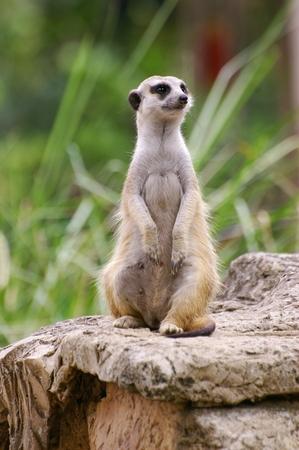 Meerkat staande in een pose