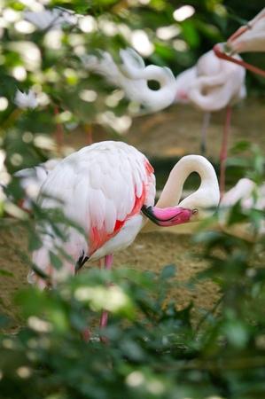 Flamingo's bij Dusit Zoo, Thailand