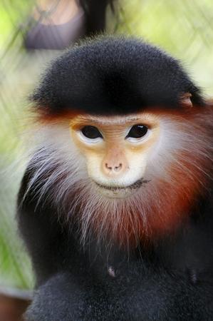Macaque apen vijf kleuren Douk met Red-shank bij Dusit Zoo, Thailand Stockfoto