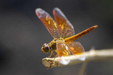 snaketail: Dragonfly perch on a twig.
