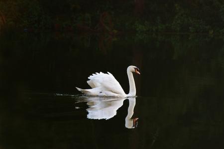 Witte zwaan met reflectie Stockfoto - 44705588