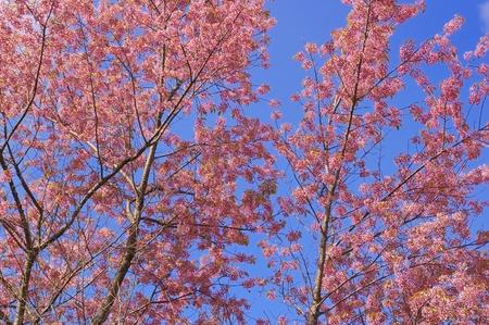 Wild Cherry Himalaya met blauwe hemel op achtergrond Stockfoto