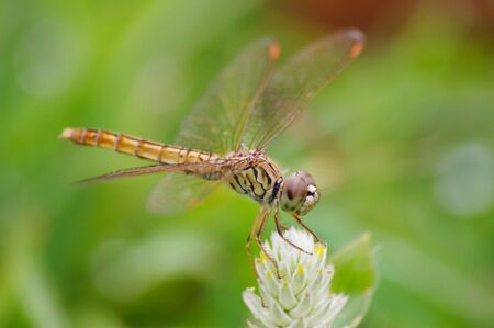 snaketail: Dragonfly perch on a flower Stock Photo