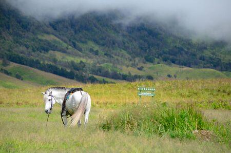 Wit paard in savanne bij Bromo, Indonesië Stockfoto - 46909915