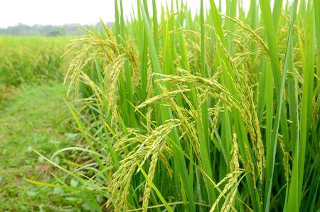 Oor van de rijst