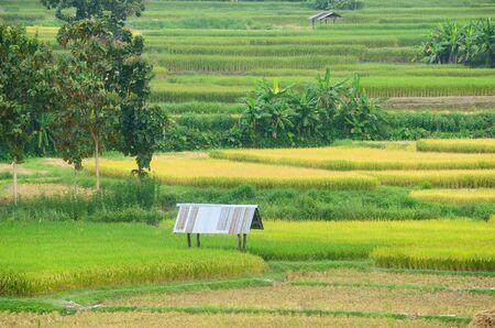 Keet in de rijst veld