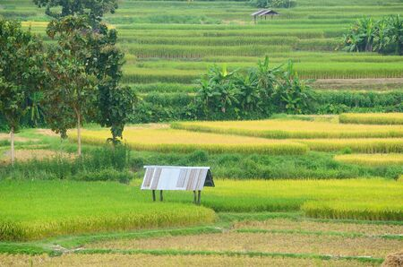shack: Shack in the rice field