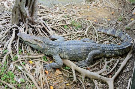 Krokodil op de boomwortel bij Sam Pran Krokodillenboerderij Stockfoto